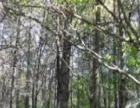 150公顷林地出售