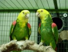 专业繁殖中大型鹦鹉