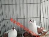 内蒙肉鸽种鸽多少钱一对种鸽养殖场