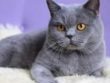 急出一只英短藍貓