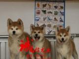 家养纯种日系秋田幼犬健康有保疫苗齐全可看狗