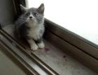 英短蓝白特价800,猫咪价格以标题为准