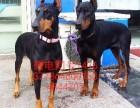 广西杜宾犬价格 杜宾幼犬多少钱一只 杜宾犬好养不