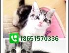 纯种英国短毛猫 蓝猫 保证健康 专业养殖