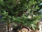 东北红豆杉小苗 辽宁东北红豆杉 东北红豆杉盆景