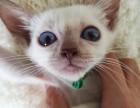 专业繁殖精品暹罗猫疫苗齐全 活泼可爱 超长保质支持货到付款