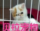【贝拉宠物】最低蓝猫暹罗猫加菲猫金吉拉猫银渐层