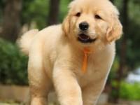 极品大骨架金毛幼犬,品相完美,包纯包健康,来带800