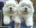 出售超可爱的纯种肉嘴松狮幼犬 颜色齐全