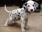 杭州什么地方有狗场卖宠物狗/杭州哪里有卖斑点狗犬