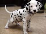 运城什么地方有狗场卖宠物狗/运城哪里有卖斑点狗
