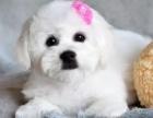 上海精品比熊宝宝直销,比熊幼犬包纯种包健康加V看视频