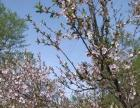 八百亩天然白桦林,三千平自在野炊园。