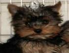 韩版超小体约克夏犬、金头银背、茶杯体约克夏幼犬销售