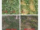 小麥除草劑個好用,懶人鋤地是可選