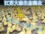 供应江苏大森生态鹅业优质白鹅苗