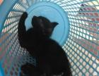 卷耳猫#美国卷耳猫#短毛猫