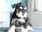 本地出售精品雪纳瑞幼犬 颜色齐全 疫苗齐全
