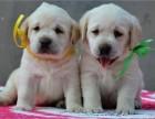 本地狗场直销 拉布拉幼犬 包健康同城送货 签订保障协