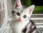 转让自家养活体纯种美短加白虎斑猫全款800元