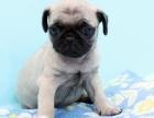上门看狗 价格可便宜 出售纯种巴哥犬 终身保障 完美售后