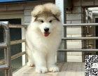 阿拉斯加犬性格忠实活泼 充满活力,忍耐力强身体健康