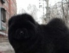 松狮幼犬 肉嘴松狮 可视频可上门 保纯种保健康