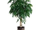 南阳招财猫绿植租售公司 专业从事各种场合的绿植租摆和销售