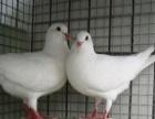 元宝鸽的价格 哪里有卖元宝鸽子的特大元宝鸽