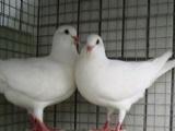 元宝鸽一年下多少个蛋哪里有元宝鸽