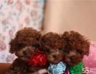 出售纯种泰迪贵宾犬泰迪幼犬娃娃脸大眼睛泰迪茶杯犬