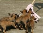 低价出售马犬幼犬 马犬图片