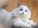 深圳出售蓝白 蓝猫 银渐层 美短 可免费送猫上门