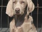 威玛猎犬健康纯种可同城免费送货