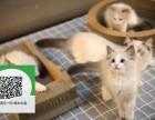 杭州哪里卖布偶猫 布偶猫价格 布偶猫哪里有卖
