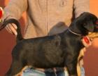 热卖高品质防爆犬罗威纳 签订售后协议 疫苗齐全