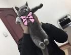 自家一手蓝猫 忍痛割爱