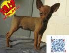 哪里有卖小鹿犬的 小鹿犬一般多少钱