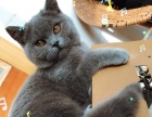 雪儿猫舍出售一只蓝猫母 9个月