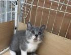 自家繁殖英短蓝白猫,三母两公,价格优惠