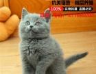 英短幼猫纯种英国短毛猫宠物英短蓝猫