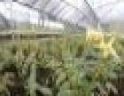 金斛一号加盟 种植养殖 投资金额 5-10万元