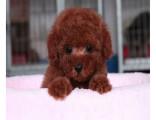 哪里有泰迪熊出售 泰迪多少钱 泰迪好养吗