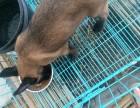 出售精品马犬幼犬,公母均有,血统纯正,欢迎选购