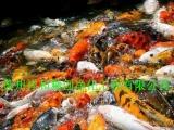 苏州祥和锦鲤渔场常年提供锦鲤及红鲫鱼 - 1元