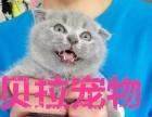 【贝拉宠物】最低蓝猫加菲猫折耳猫美短银渐层,请比价