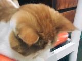 家庭繁育加菲,小猫可以预定