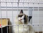 性格较温顺粘人的猫 布偶猫出售 仙女网红喵 包活