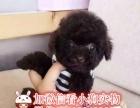 纯种泰迪犬 玩具泰迪犬 茶杯泰迪犬 灰色泰迪幼犬