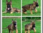本地大型宠物繁殖基地上门挑选 德国牧羊犬